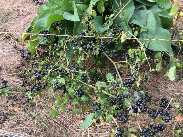 How to Harvest Garden Huckleberry