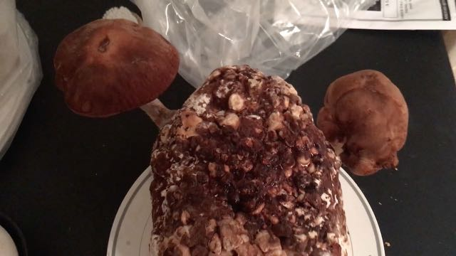 Shiitake Mushroom Growing Kit Product Review