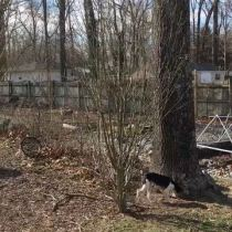 Sustainable Homesteading in Maryland Part 1 - Rose of Sharon