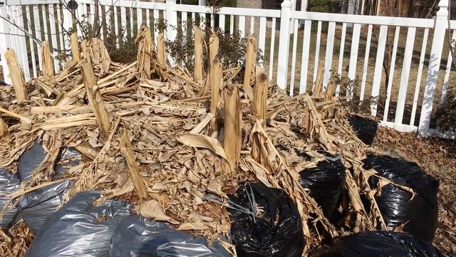 Sustainable Homesteading in Maryland Part 2 Hardy Banana