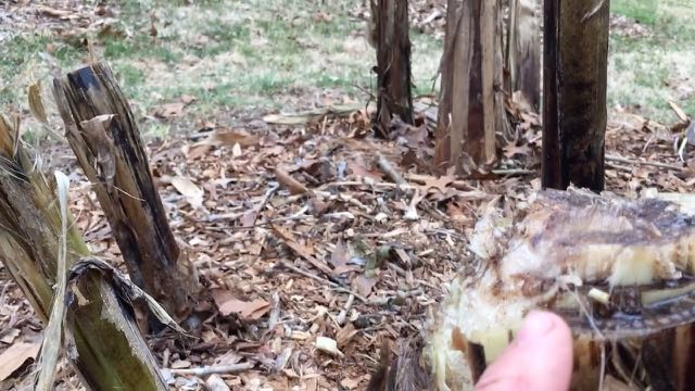 Hardy Banana Spring Preparation - Angled Cut
