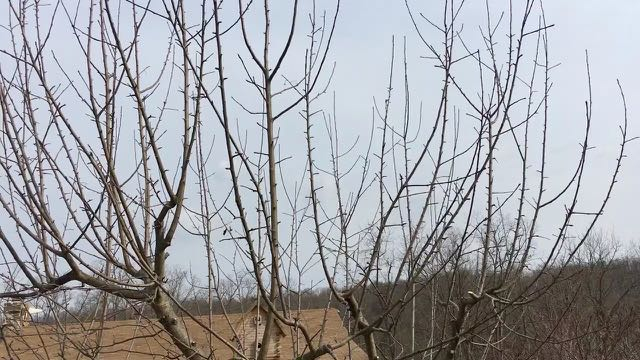Pruning Overgrown Apple Trees - After Prune