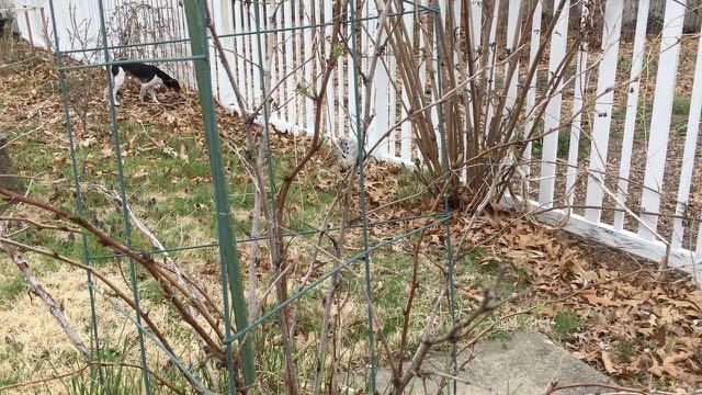 Raspberry Pruning Basics | Spring Raspberry Pruning | Rubus idaeus