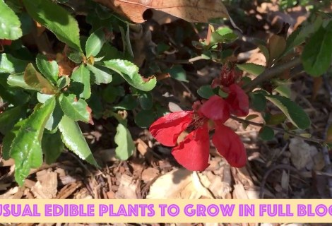 Unusual Edible Plants to Grow in Full Bloom at the Homestead