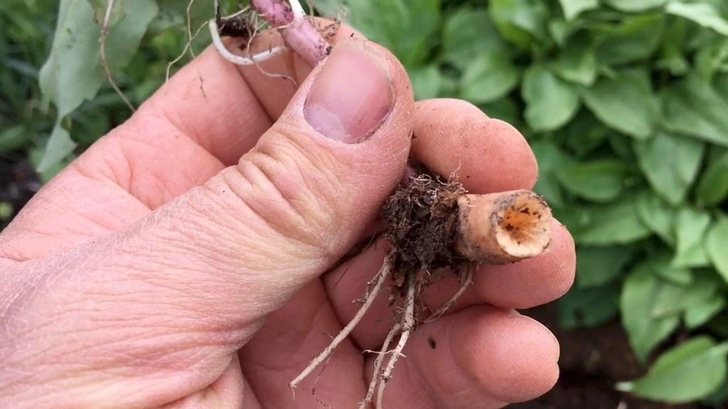 Harvesting Jerusalem Artichoke Sunchoke - Spent Tuber