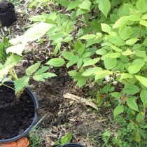 Propagating Raspberries - Pot