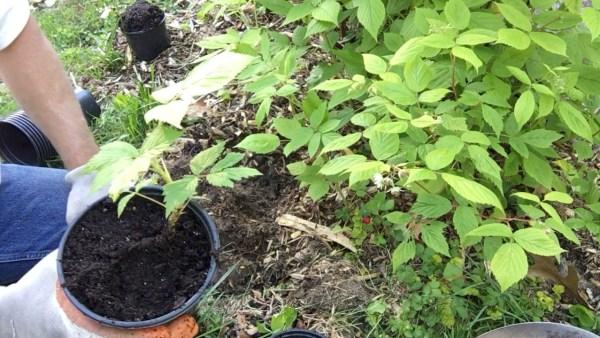 Propagating Raspberries - Pot