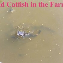 Bullhead Catfish in the Farm Pond video
