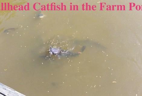 Bullhead Catfish in the Farm Pond