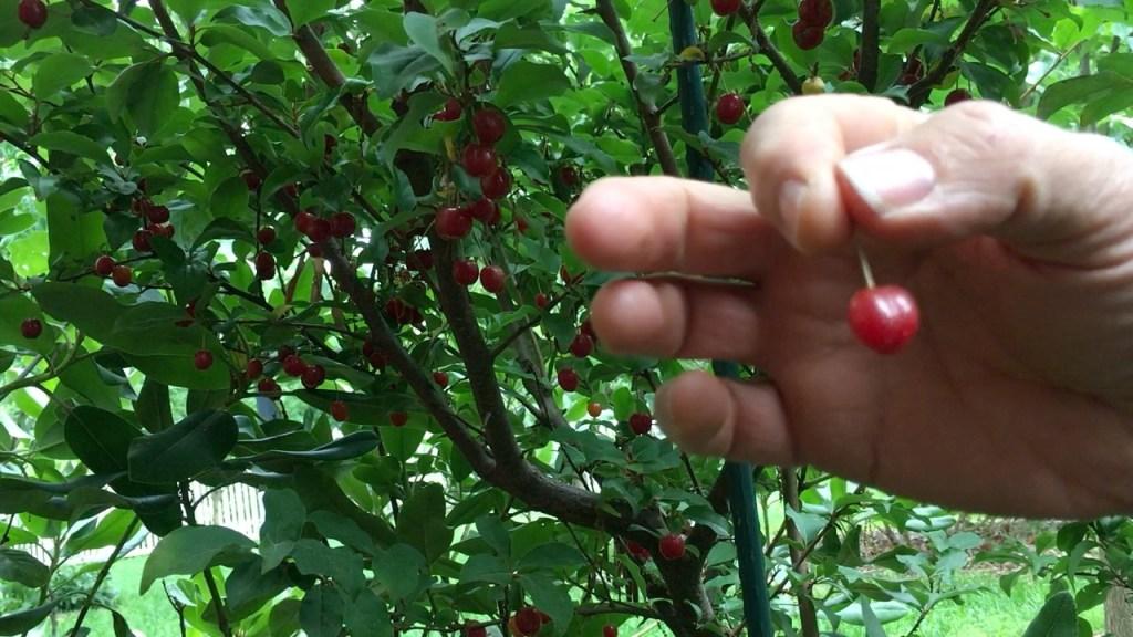 Sweet Scarlet Goumi Berry Harvesting Fruit 2