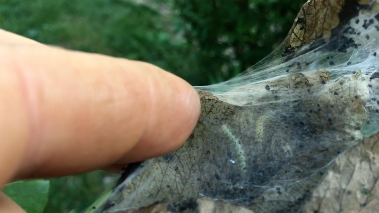 Tent Caterpillar Removal Bag Worm Removal