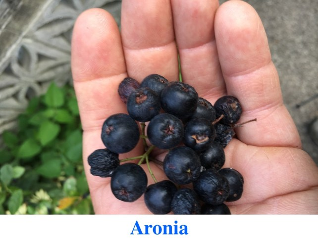 Aronia plants for sale at Great Escape Nursery