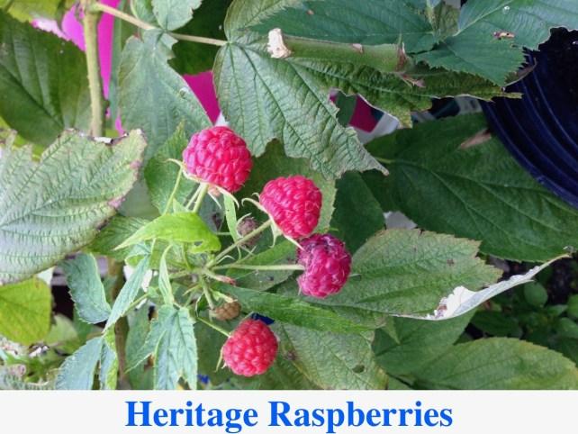 Heritage Raspberry For Sale