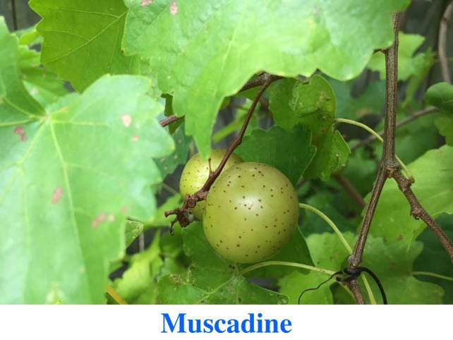 Muscadines for Sale at Great Escape Nursery - Vine Layer Forest Design Plants