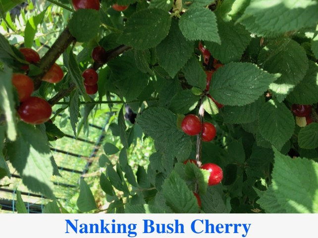 Red Nanking Bush Cherry