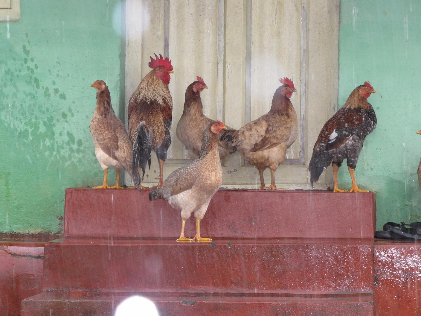 Nati koli (Local chicken) take shelter in the rain at a village near Somwarpet