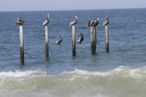 pelicansNC