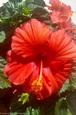 Miramar Beach, FL - Red Hibiscus