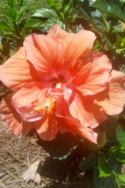 Miramar Beach, FL - Orange Hibiscus