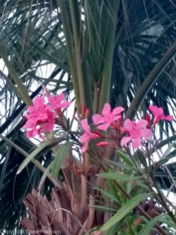 Miramar Beach, FL - pink flowers