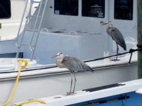 Harbor Village Grey Herons waiting for fish