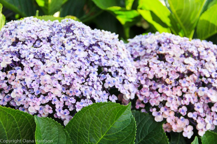 Sintra Portugal Castle of the Moors hydrangea