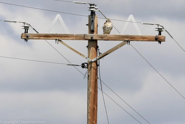 Montana-bird-of-prey
