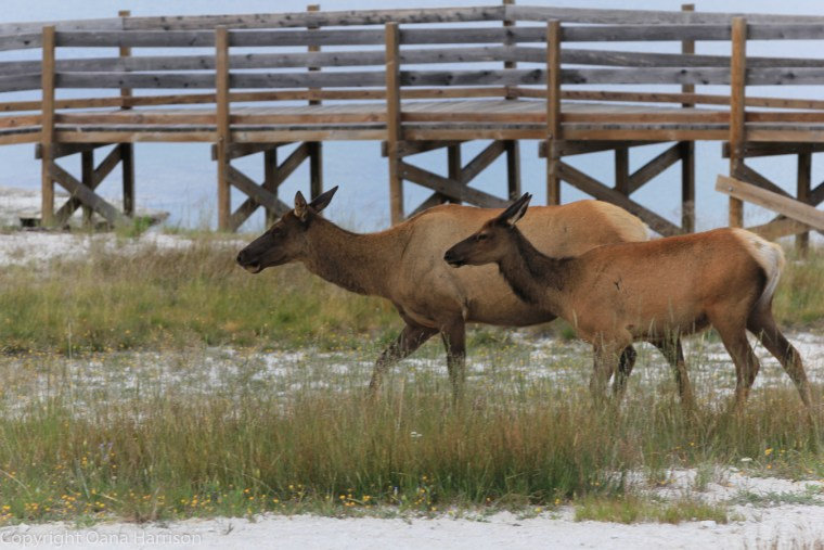 Elk-mom-and-young-Yellowstone