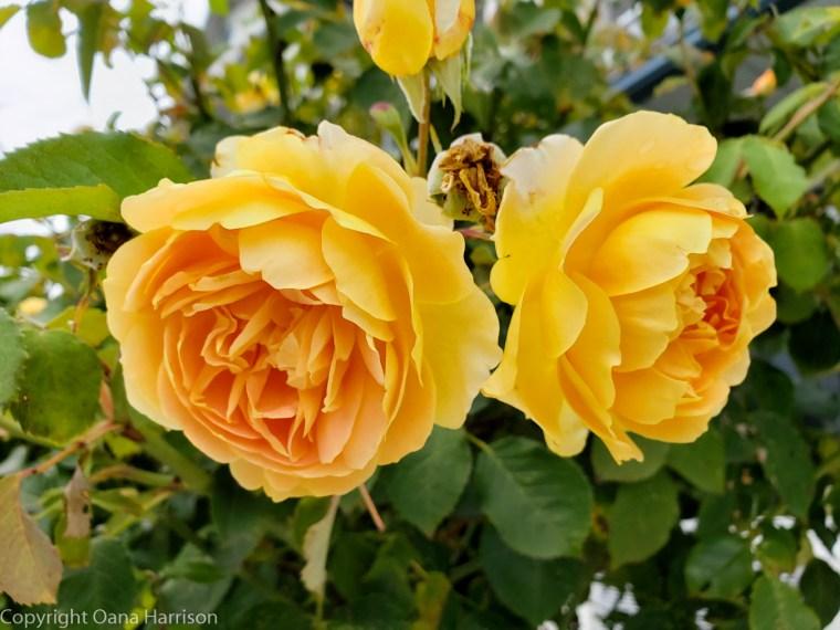 08-Victoria-BC-CA-yellow-roses