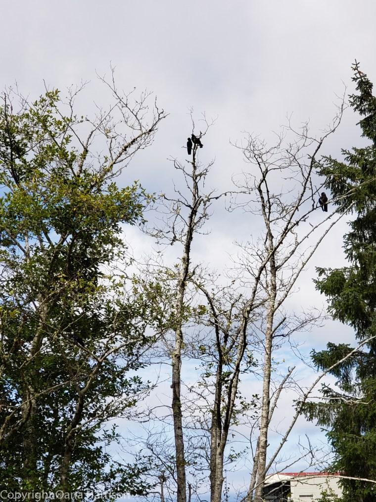 Makah-Days-ravens