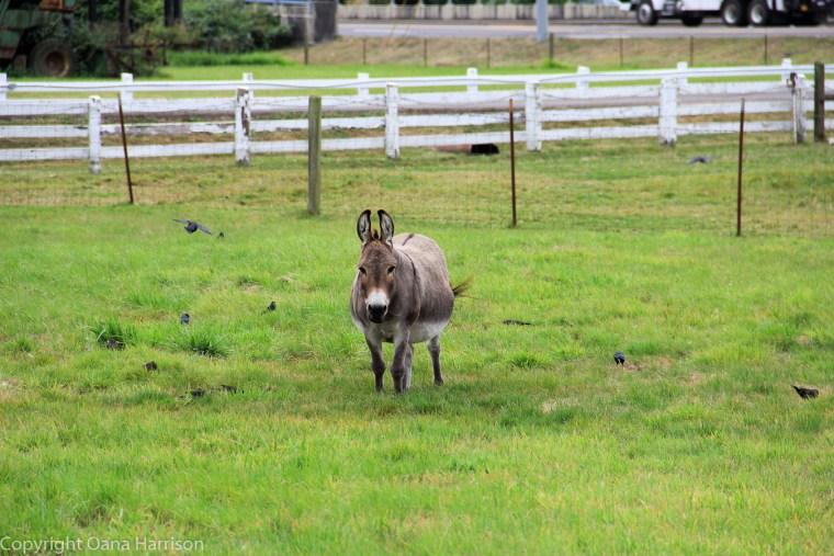 Blue-Heron-Farm-Tillamook-OR-donkey-03