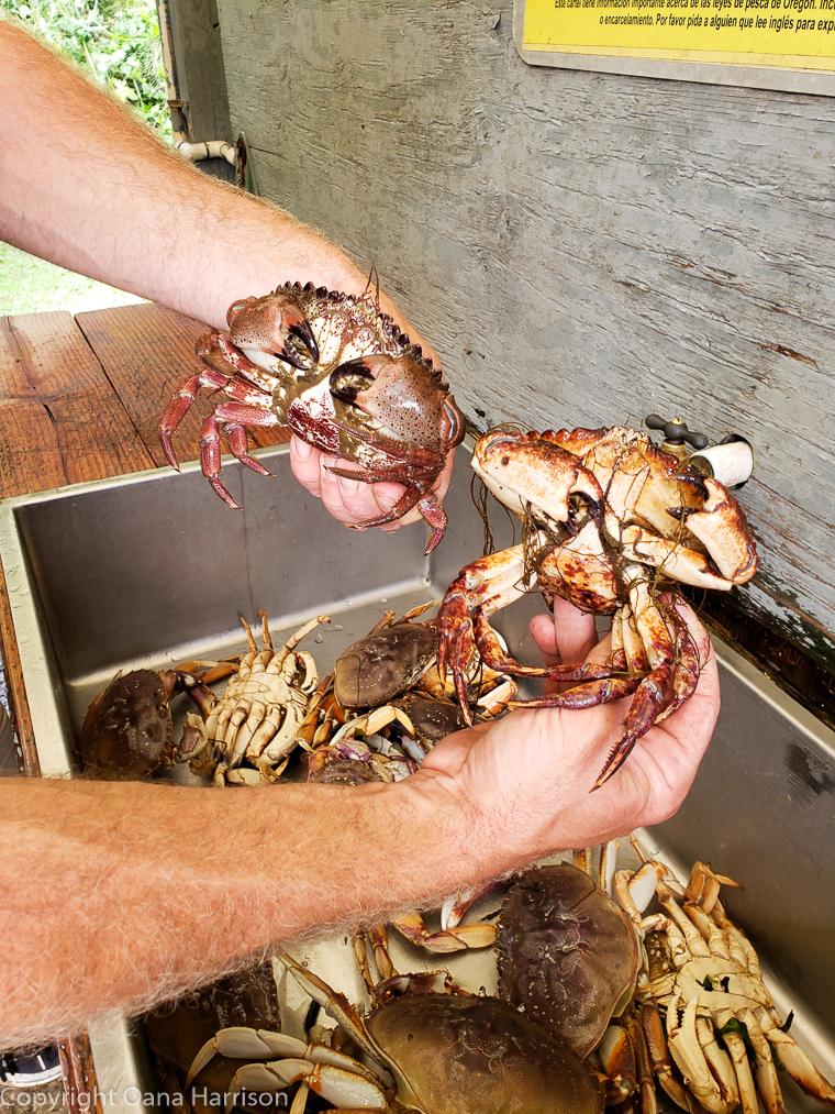 Netarts-Bay-OR-Crabbing-16-dungeness-crabs