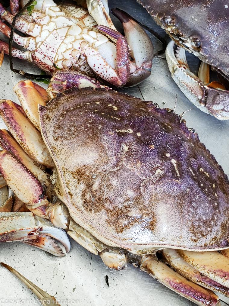 Netarts-Bay-OR-Crabbing-18-dungeness-crabs