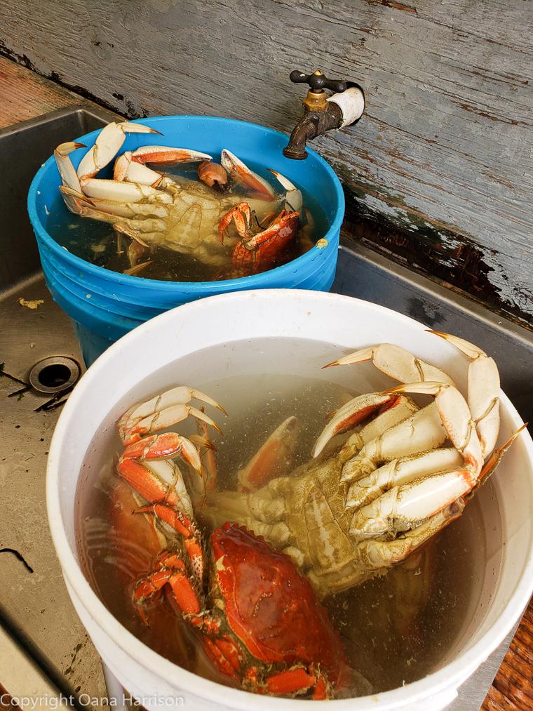 Netarts-Bay-OR-Crabbing-23-Dungeness-crab