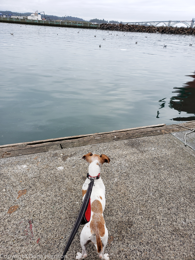 Newport-OR-Chelsea-Rose-Roxie-dog-watching-birds