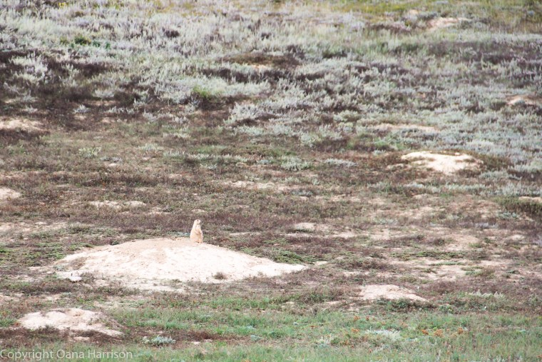 Teddy-Roosevelt-National-Park-ND-prairie-dog