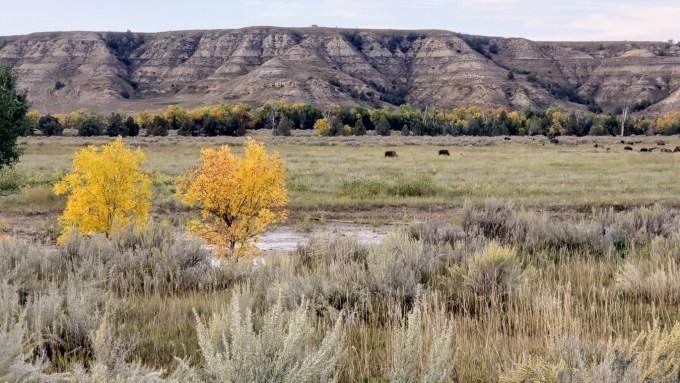 Teddy-Roosevelt-National-Park-ND-Bison-Golden-Trees