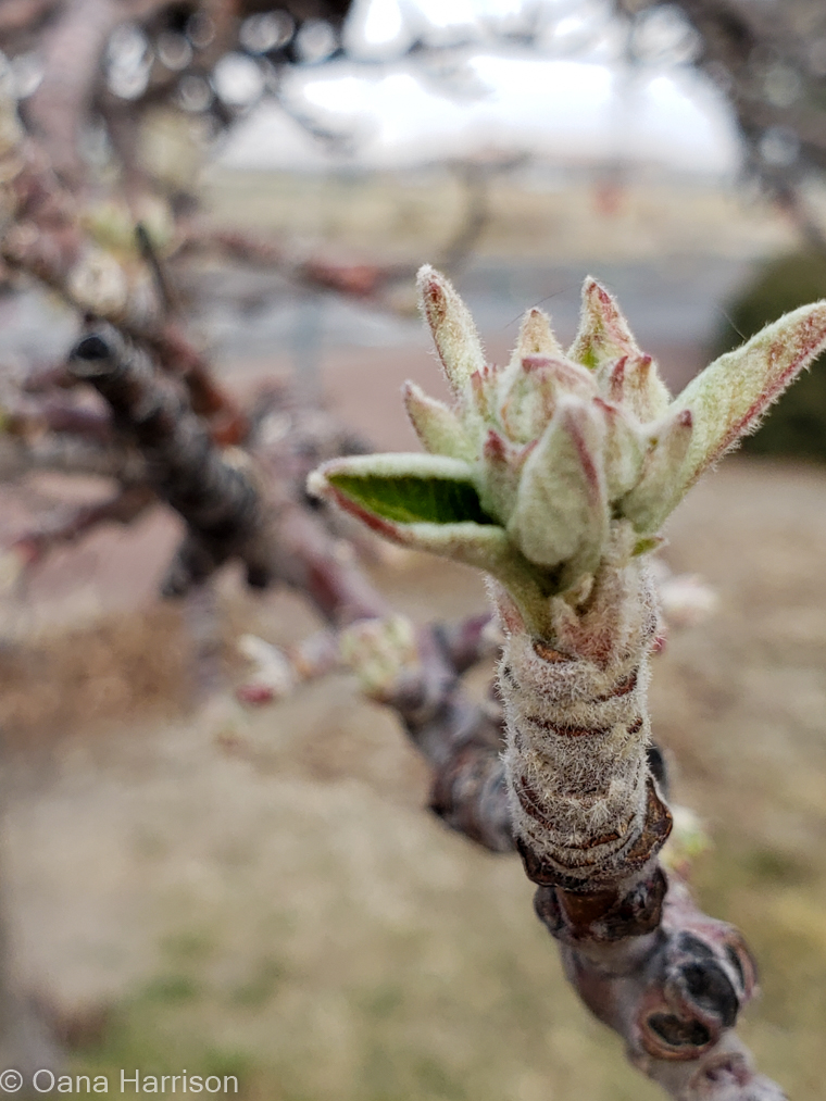 Budding tree at Grande Vista RV Park, Willcox, AZ