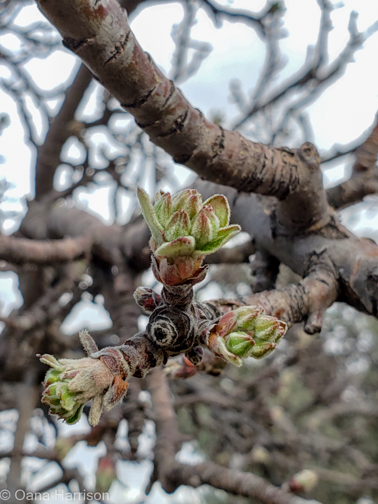 Tree buds at Grande Vista RV Park, Willcox, AZ