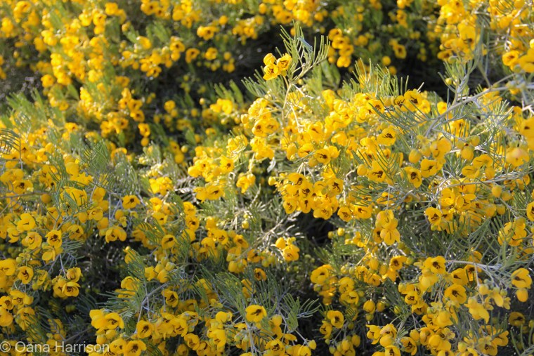 Yellow flowers, Tucson, Arizona