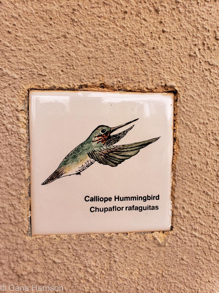 Saguaro West Arizona hummingbird