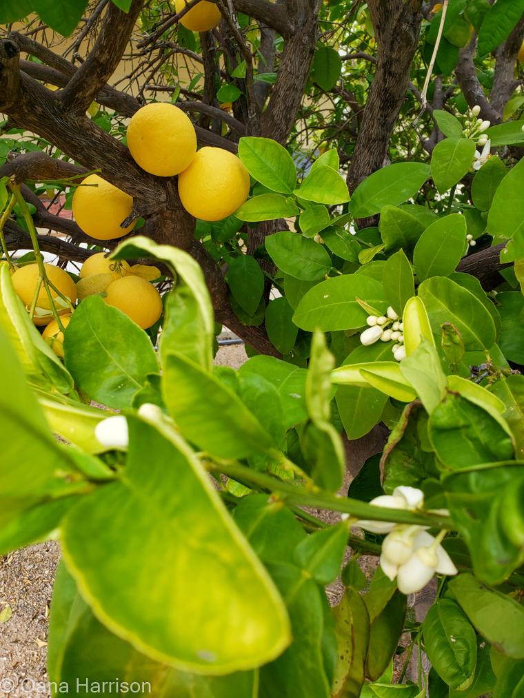 Western Way RV Park Tucson Arizona orange tree