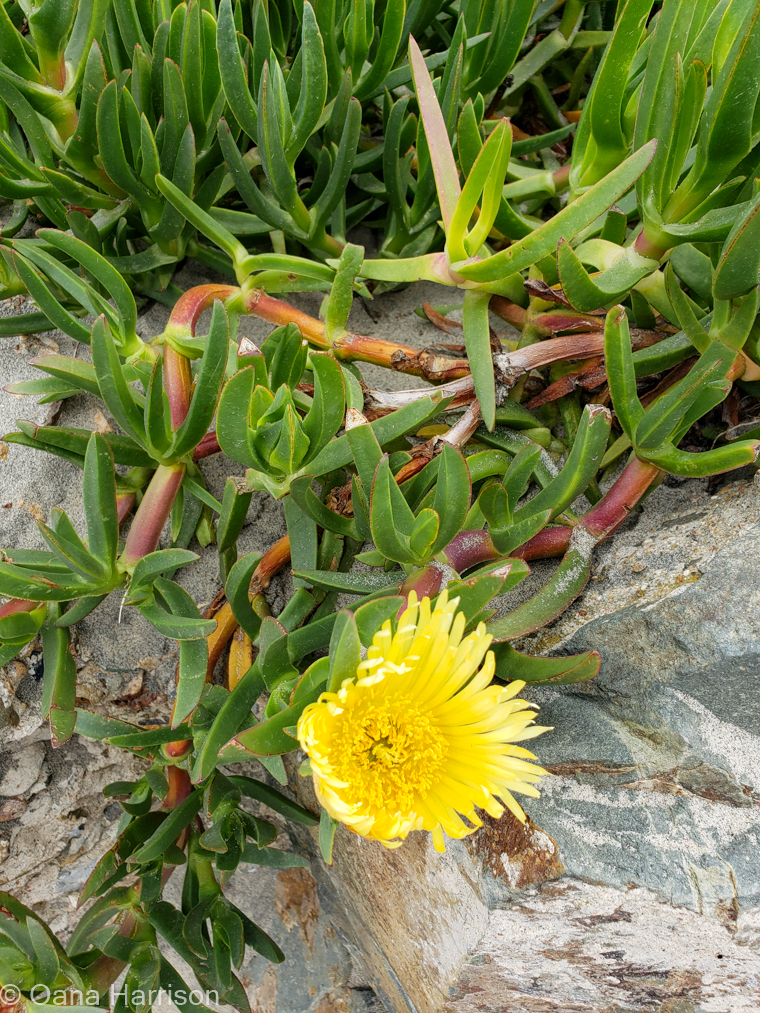 San Diego, California, yellow flower