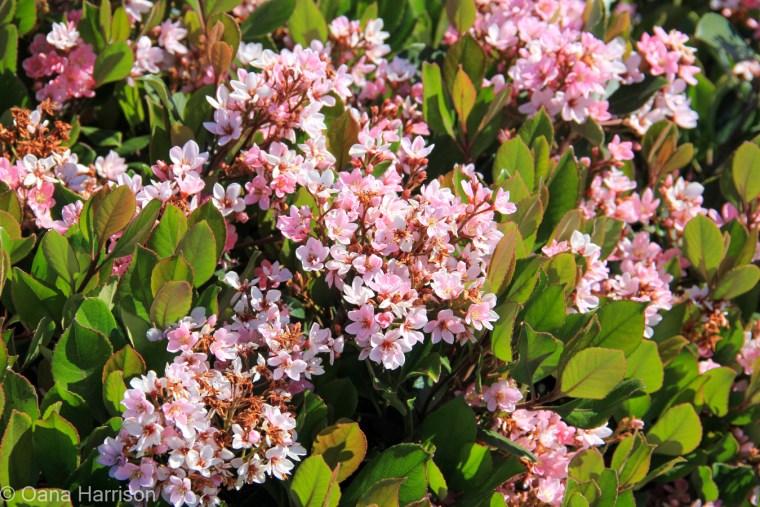 San Diego, California pink flowers