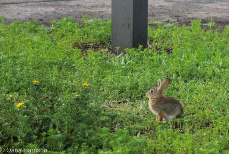 San Diego, California bunny