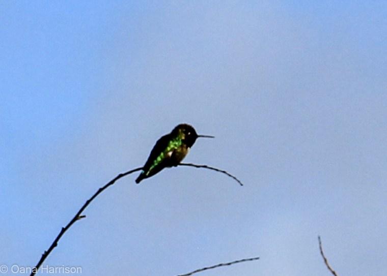 San Diego, California, Sweetwater County Park hummingbird