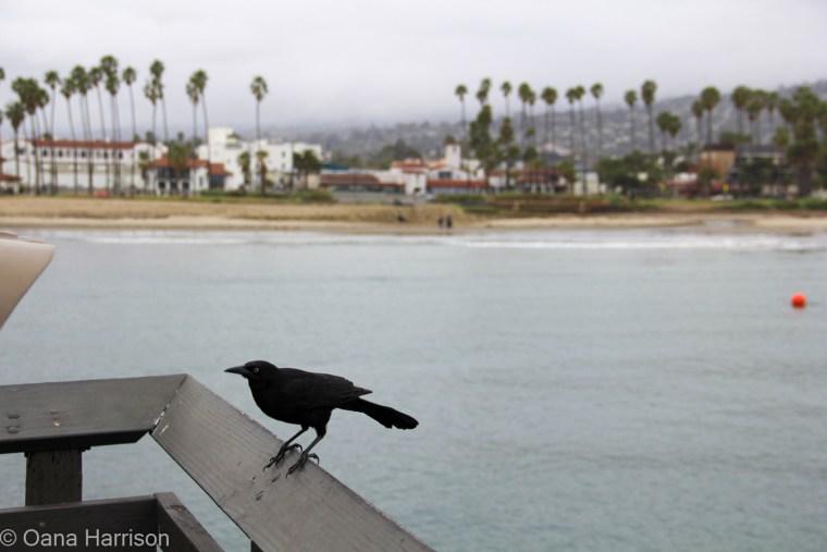 Santa Barbara, California, crow on the pier