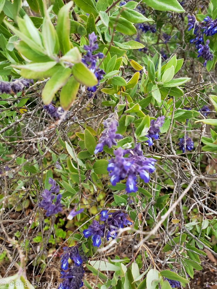 Santa Barbara, California, purple flowers