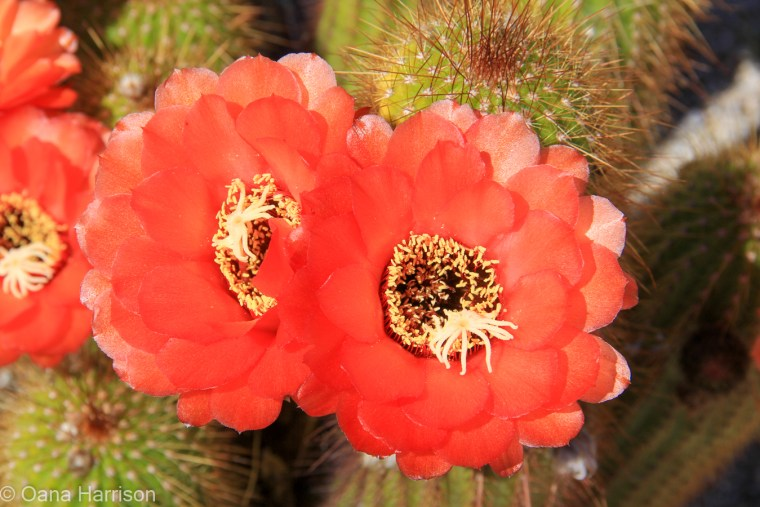 Sky Valley Desert Hot Springs CA, red cactus flowers