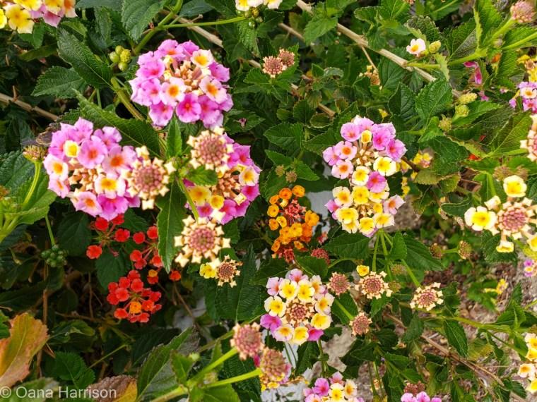 Sky Valley Desert Hot Springs CA, colorful lantana flowers